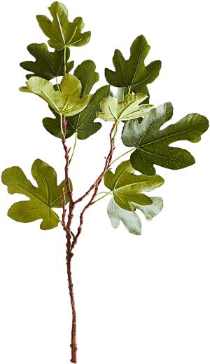 pianta di fico
